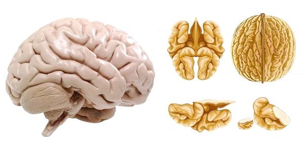 Ядро волоського горіха і мозок людини