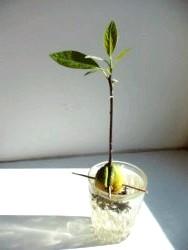 Фото - Авокадо. вирощування в домашніх умовах