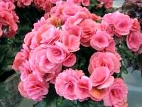 Фото - Бегонія красивоцветущая. мій сумний досвід вирощування.