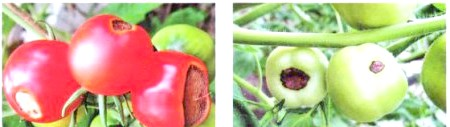 Хвороби помідор