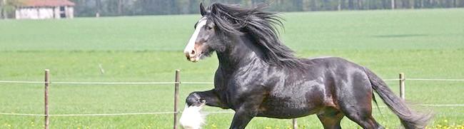 Кінь важковаговик