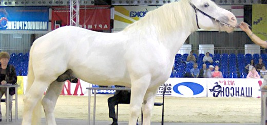Кінь першеронской породи, yandex.ru