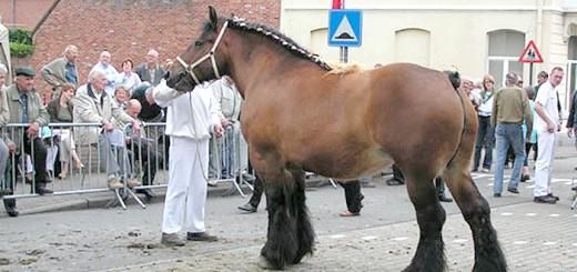 На фото брабансонская гніда кінь, radikal.ru