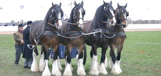 Фото коней ваговозів, koniludi.ru