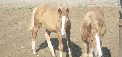 Фото лошат російської тяжеловозной, equestrian.ru