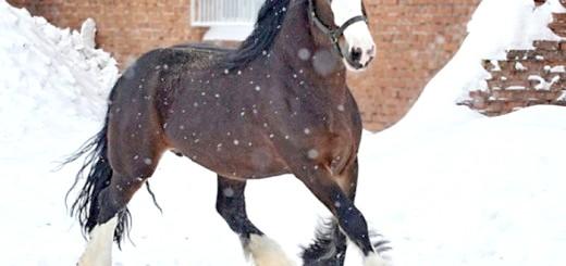 Кінь ваговоз породи Володимирська, fontanka.ru