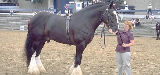 Кінь породи Шайр, radikal.ru