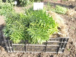Фото - Лусочками, бульбами, дітками або насінням - як краще розмножувати лілії?