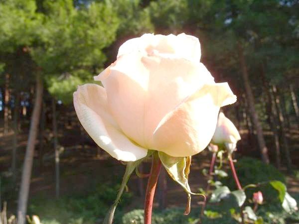 Квітнуть троянди