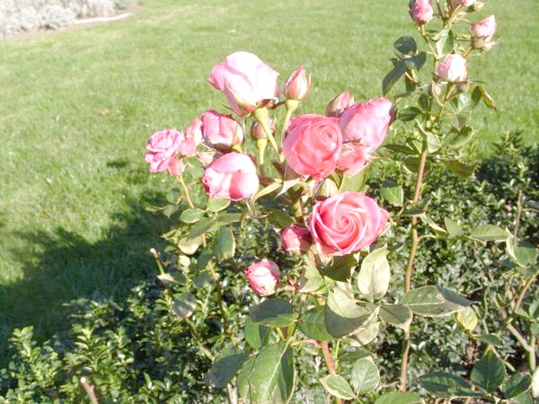 Квітучі троянди