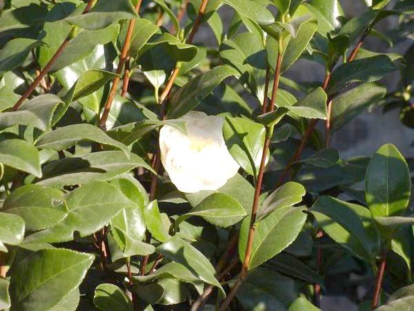 Розпускаються розкішні квітки білої камелії
