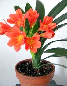 Фото - Квітка клівія вирощування догляд