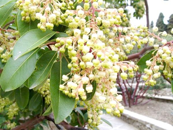 Дерева з квітками конвалії і плодами суниці