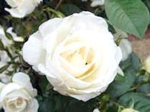 Фото квітка білої троянди