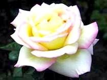 Роза чайно-гібридна