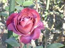 Роза'Black Tea'