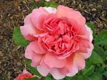 Фото квітка троянда