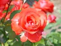 Роза Флорибунда'Melody Maker'