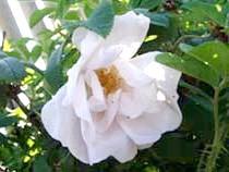 Паркова троянда (ругоза)