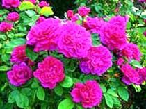 Фото квітів троянди