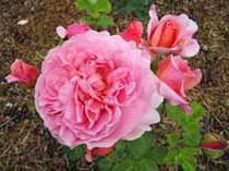 Фото рожевої троянди чайно-гібридної