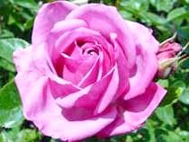 Роза'Shocking Blue'