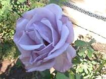 Роза'Blue Girl'