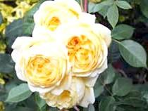Англійські троянди'Claire Austin'
