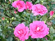 Rosa'Manou Meilland'