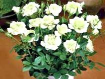 На фото міні-троянди'Green Ice'