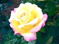 Роза чайно-гібридна'Gloria Dei'
