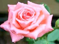 Троянди з групи Climbing