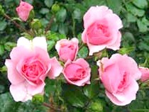 Сорт троянди'Bonica' из группы Флорибунда