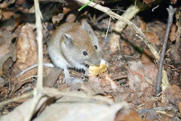 Як прогнати мишей?