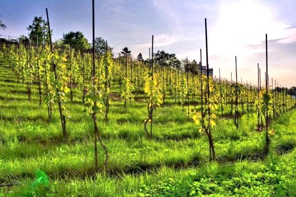 Фото - Як поливати виноград