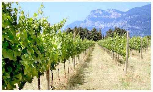 Фото - Як правильно вибрати ділянку для винограду