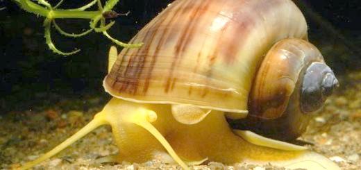 Фотографія равлики для біологічного очищення, eagri.cz