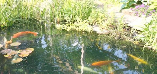 Зображення риб в домашньому ставку, uniqway.com
