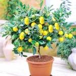 Фото - Як виростити домашній лимон павлова.