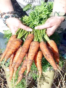 Фото - Коли краще прибирати морква, і як правильно проводити прибирання врожаю