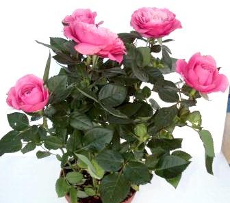 Фото - Кімнатні троянди - догляд, розмноження.