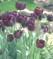 Фото - Легенди про тюльпані