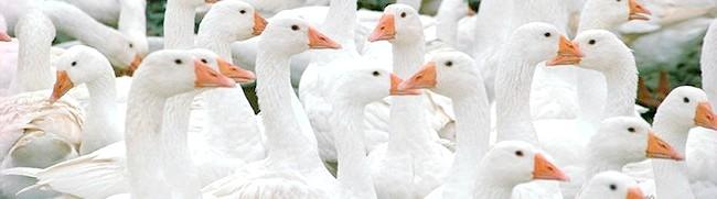 Багато білих гусей, thefoodwatchdog.com