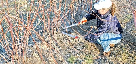 На фото обрізання малини восени, googleusercontent.com
