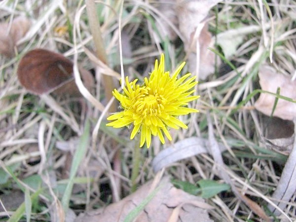 Фото - Кульбаби цвітуть у середині січня