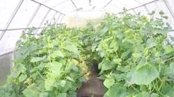 Фото - Огірки до нового року або як вирощувати огірки в теплиці в будь-який час року