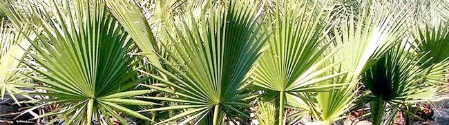 Фото - Особливості вирощування кімнатної пальми - секрети великого і красивого дерева