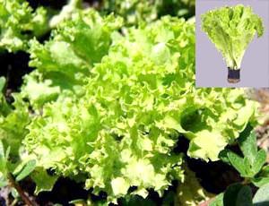 Фото - Особливості вирощування листяного салату