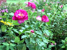 Посадка садових троянд