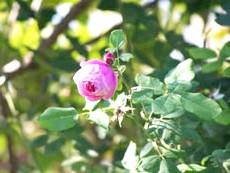 посадка: троянда садові